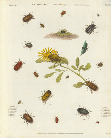 "Insects Antique Entomological Print  Copper etchings from: ""Animated Nature"" (London,1804-1809) each precisely dated.  Exquisite modern hand coloring. **** ""Entomology Order Coleoptera Genus Chrysomela""  Published Dec. 1813."