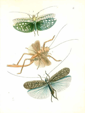 No Title  Fine lithograpph dated 1847. Printed in attractive color.  Original antique print , Insects