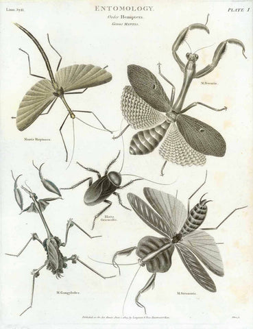 """Entomology"" "" Order Hemiptera"" ""Genus Mantis""  ""Mantis Bispinosa. M. Preccaria, Blatta Orientalis M. Gongylodes, M. Strumaria""  Copper engraving published June 1, 1803 in London.  Original antique print"