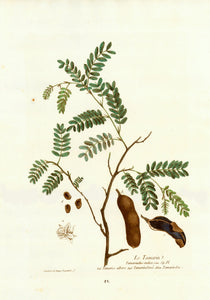 Le Tamarin, Tamarindus indica  Ital. Tamarice albero Angl, Tamarind tree Allem Tamarinden  Decorative Botanicals by N. Regnault  Browsing the world in search of rare as well as decorative antique prints, prints one does not see every day, prints which are not to be found easily in most antique print shops, we came upon this very delightful, highly decorative and botanically as well as medicinally interesting collection of original color-printed and hand-finished-colored copper etchings