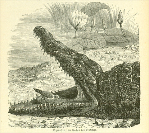 """Regenpfeifer im Rachen des Krokodils"" (plover in the mouth of a crocodile!!!!!)  Wood engraving on a page of text about crocodiles and other Egyptian animals that continues on the reverse side."