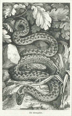 """Die Kreuzotter"" ( Vipera berus )  Wood engraving on a page of text ( in German ) about snakes. Published ca 1880. On the reverse side is unrealted text."
