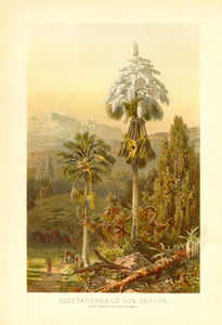 """Vegetationsbild von Ceylon""  Chromolithograph after the watercolor by Ernst Haeckrl ca 1900."