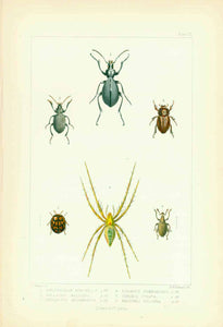 "Animals: Beetles and a spider, all indigenous to the Island of St. Helena in the South Atlantic.  Lithograph by Edward W. Robinson after the drawing by John Charles Melliss  Published in ""St. Helena""  London, 1875   1 - Haplothorax Burchellii  2 - Calosoma Haligena  3 - Mellissius Adumbratus  4 - Sciobius Subnodosus  5 - Cydonia Lunata  6 - Pasithea Pulchra"