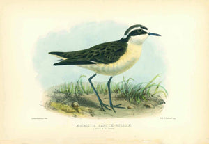 """Aegialitis Sanctae-Helenae""  Indigenous bird to the Island of St. Helena in the South Atlantic  Lithograph by John Gerrard Keulemans (1842-1912). Printed in color and glare hand-finished with gum arabicum  Published in ""St. Helena"" by John Charles Melliss.  London, 1875"