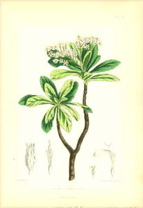 """Aster Gummiferus""  Set of flowers indigenous to the Island of St. Helena in the South Atlantic.  All lithographs were printed in colour. Various artists.  Published in ""St. Helena"" by John Charles Melliss London, 1875  The prints are in good condition. Little traces of age and use remain unmentioned."