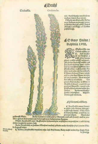 """Rosy Brabre Rapotola""  Woodcut from ""Hebarium Bohemiae"", 1590. Text in Czech. Later hand coloring.  This over 400 year-old print is shown on a light background."