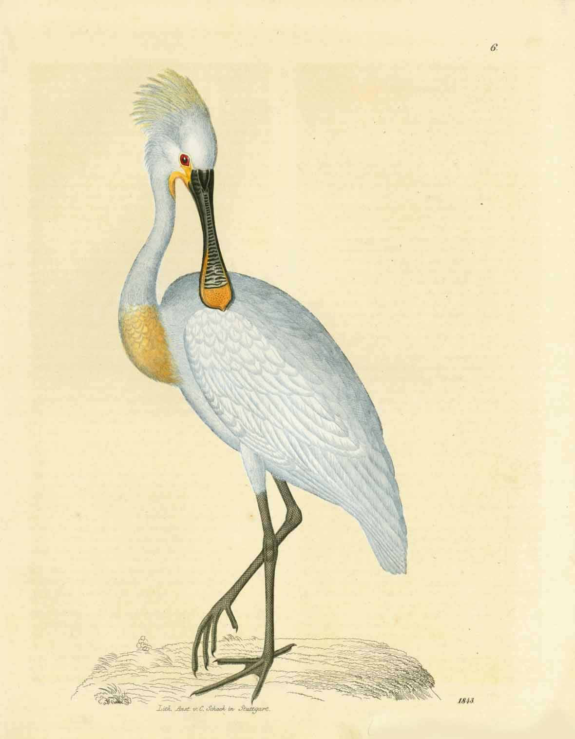 Ohne Titel. Llöffler (Plataleae Linne) (Spoonbill bird)  Copper etching by an unknown artist.  Original hand coloring  Published in Stuttgart, dated 1843