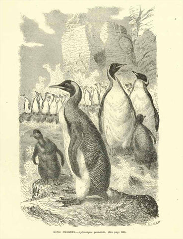 """King Penguins. - Aptenodytes pennantii""  Wood engraving ca 1890. Reverse side is printed.  20 x 13 cm (7.8 x 5.1"")"