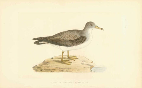 """Algerian Cinereous Shearwater""  Fine lithograph for C.H. Bree M.D. 1863. Original hand coloring.  Original antique print"