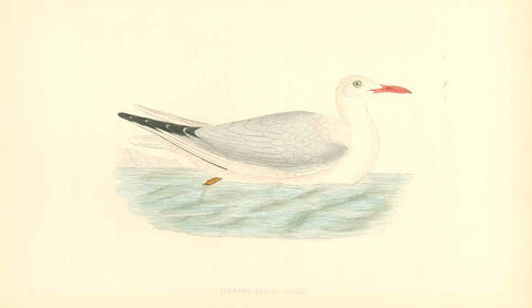 """Slender Billed Gull""  Fine lithograph for C.H. Bree M.D. 1863. Original hand coloring.  Original antique print"