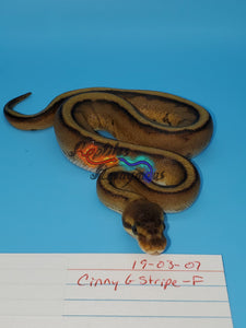 Female Cinny G Stripe - Item #  19-03-07
