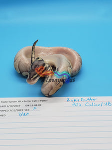 Female Pastel Butter Pos Calico YB - Item #  19-04-01