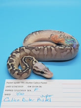 Load image into Gallery viewer, Female Super Pastel Butter Calico, Pos YB - Item #  19-04-06