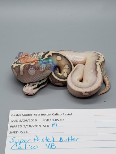 Male Super Pastel Butter Calico, Pos YB - Item #  19-05-03