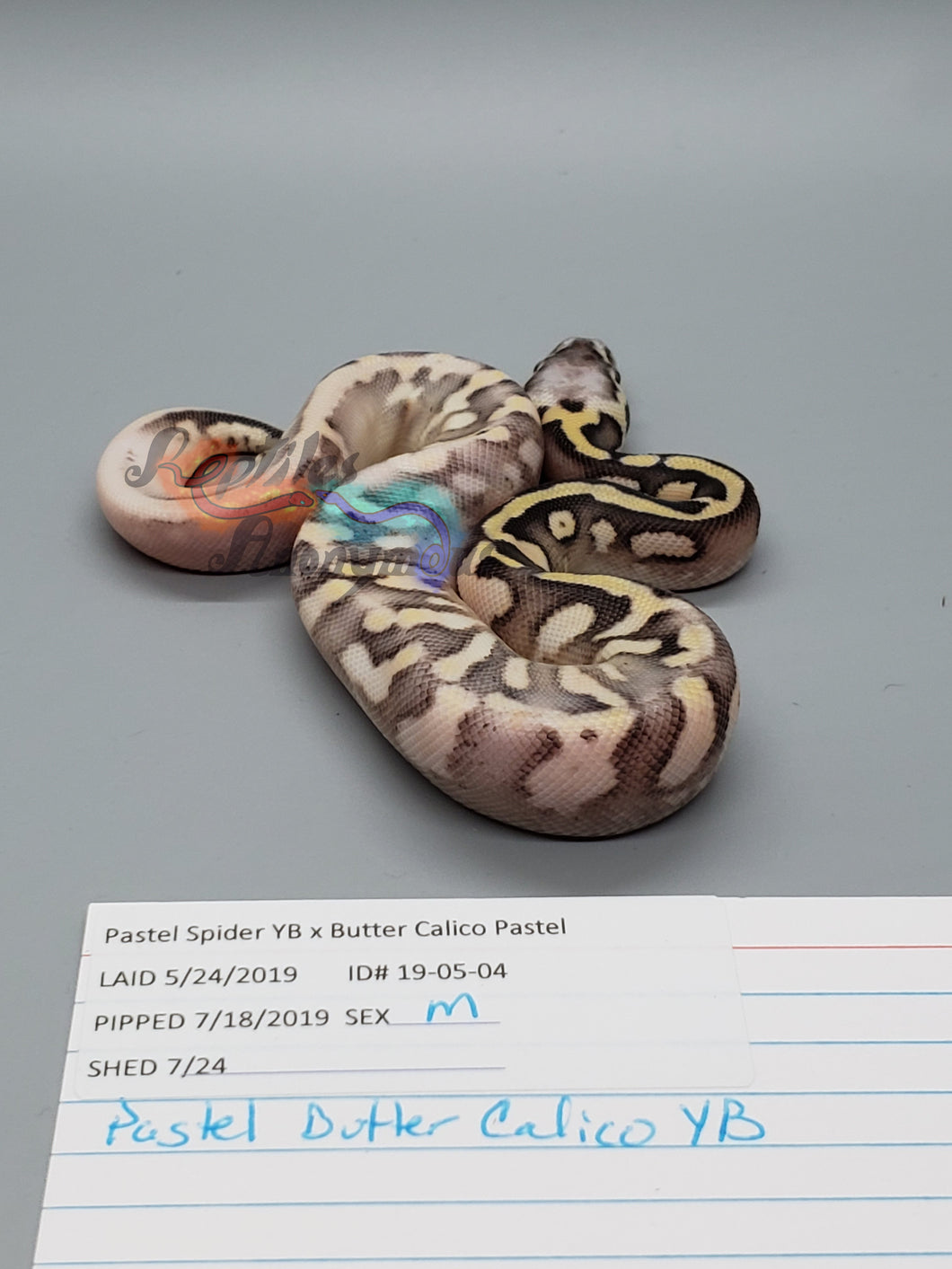 Male Pastel Butter Calico, Pos YB - Item #  19-05-04