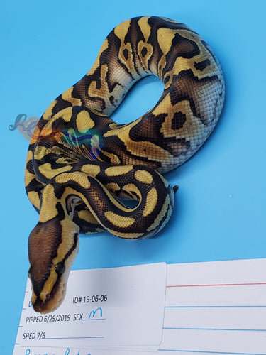 Male Russo Cryptic 100% Het Clown - Item #  19-06-06