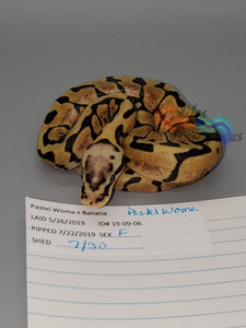Female Pastel Woma - Item #  19-09-06