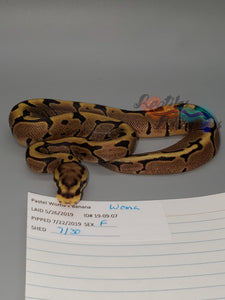 Female Woma - Item #  19-09-07