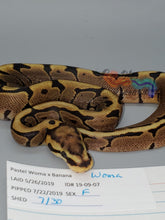 Load image into Gallery viewer, Female Woma - Item #  19-09-07