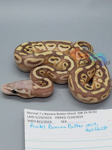 Male Pastel Banana Butter 100% Het Ghost - Item #  19-10-02