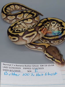 Female Butter 100% Het Ghost - Item #  19-10-04