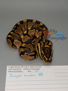 Female Jungle Woma YB - Item #  19-14-04