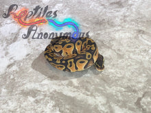 Load image into Gallery viewer, Male Pastel Lace Ball Python