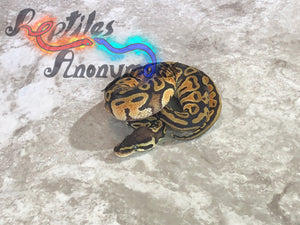 Male Pastel Lace Ball Python