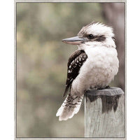 King of the Bush Kookaburra