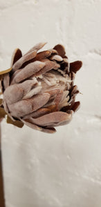 Dried look king protea