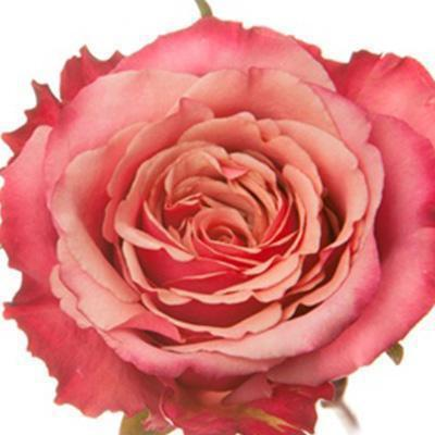 Roses Hard Rock - Bicolor Pink with Peach - Ambience Flowers