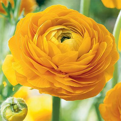 Ranunculus Yellow Center Green - Ambience Flowers