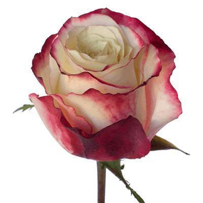 Roses Sweetness - Bicolor Carmine Red & White - Ambience Flowers