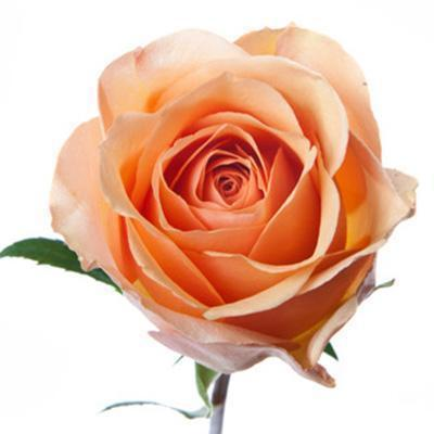 Roses Taxo - Apricot Orange - Ambience Flowers
