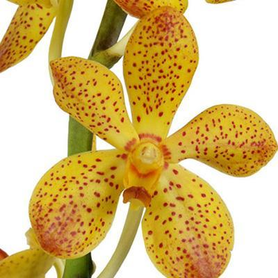 Mokara Lawaii Yellow & Red Orchid - Ambience Flowers