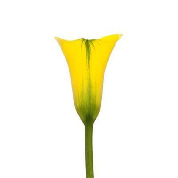 Gold -Yellow Florex Mini Callas - Ambience Flowers