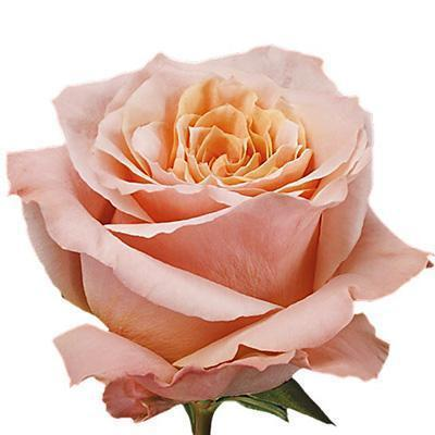 Roses Shimmer - Peach - Ambience Flowers