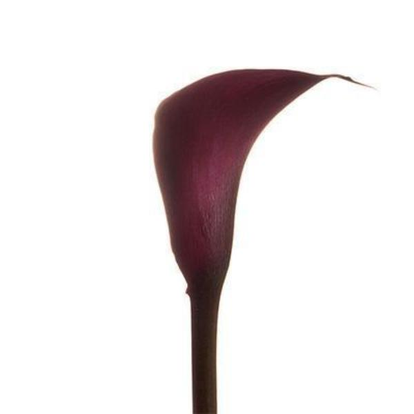 Cranberry-Burgundy Mini Callas - Ambience Flowers