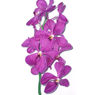 Mokara Anny Cool Hot Purple Orchid - Ambience Flowers