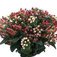 Hypericum Assorted Magical - Ambience Flowers