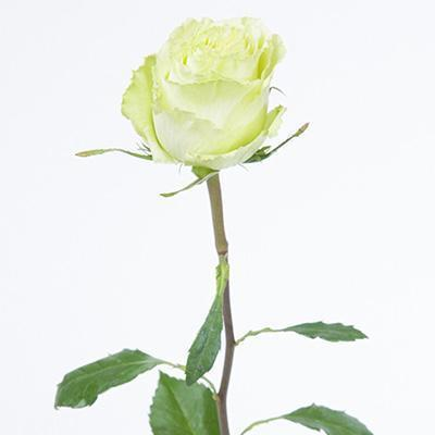 Roses Lemonade -Lime Green - Ambience Flowers