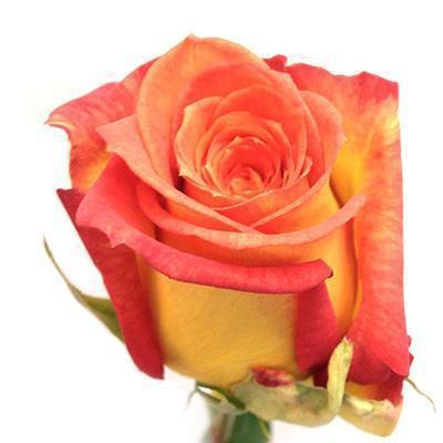 Roses Giotto - Bicolor Tiger Orange & Tuscany Yellow - Ambience Flowers