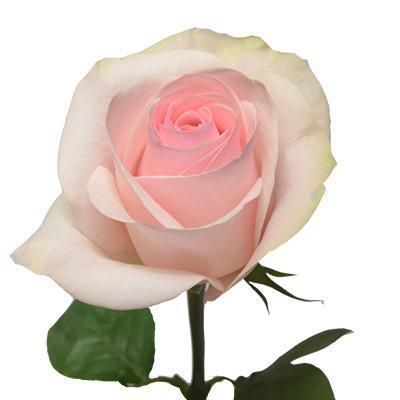Roses Novia - Taffy Light Pink - Ambience Flowers