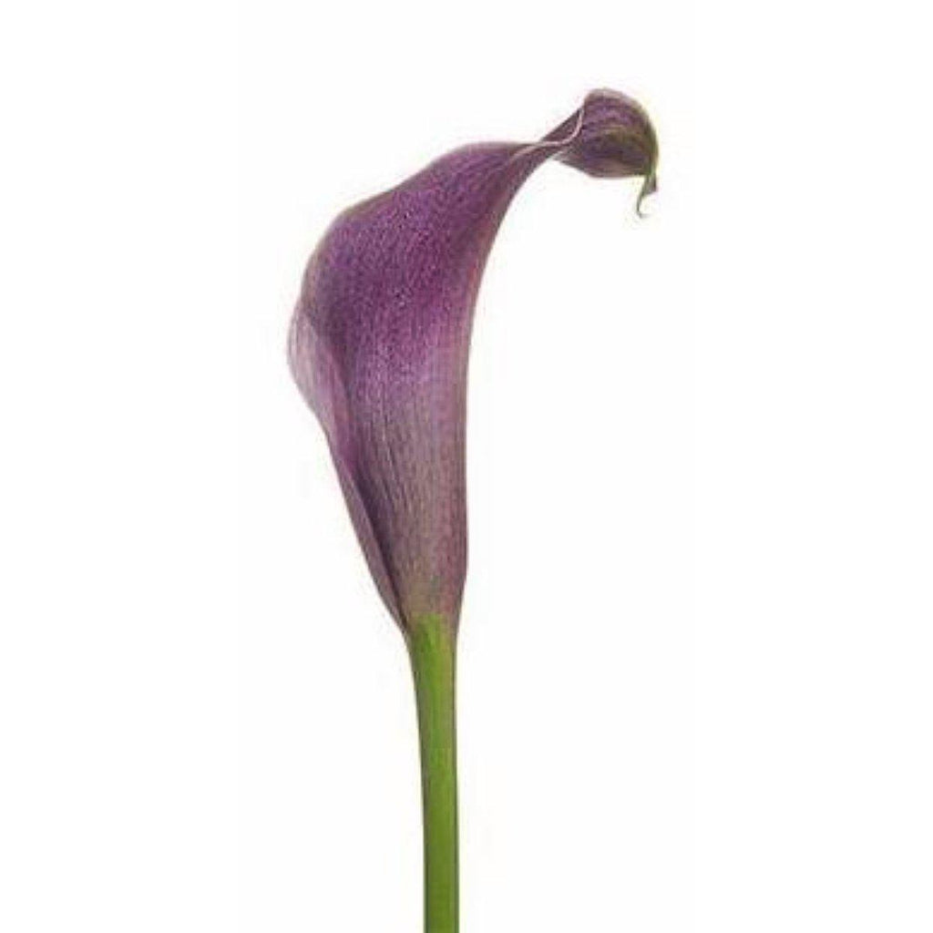Purple Star-Bright Purple Mini Callas - Ambience Flowers