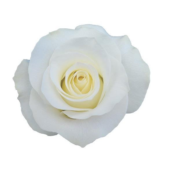 Roses Akito - Morning White - Ambience Flowers