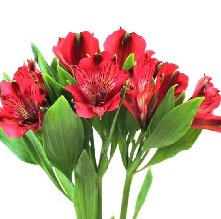Red Alstroemeria - Ambience Flowers
