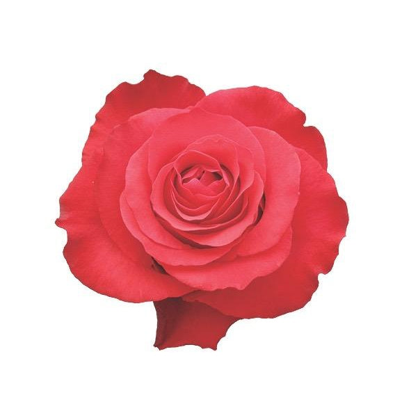 Roses Altamira - Imperial Red - Ambience Flowers