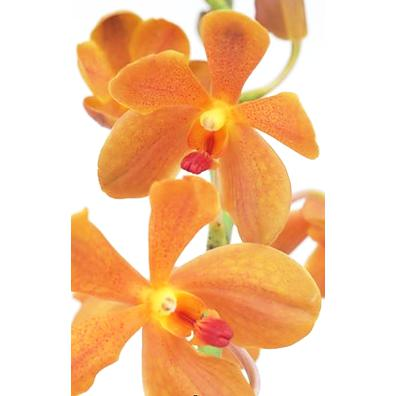 Mokara Buffalo Orange Orchid - Ambience Flowers