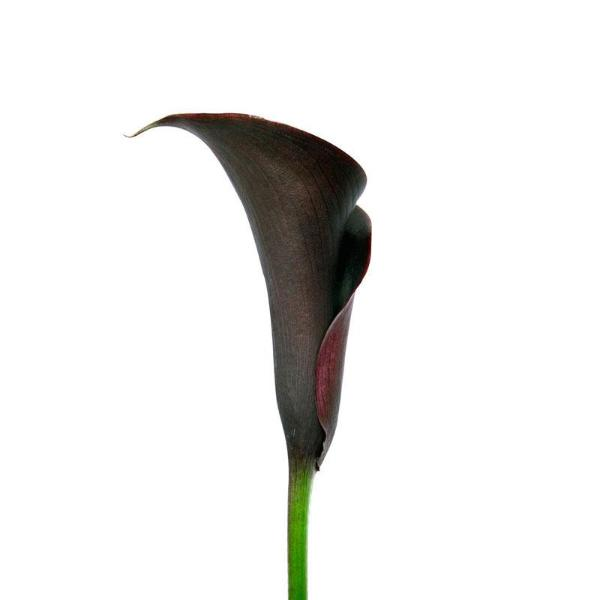 Black Forest-Black Mini Callas - Ambience Flowers